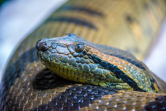 Anaconda snake is harmless as a pet