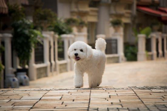 Bichon Frise dog breed