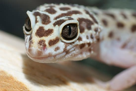 proper care can prevent Respiratory Infection in leopard geckos