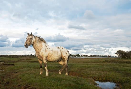 An Appaloosa Horse Breed