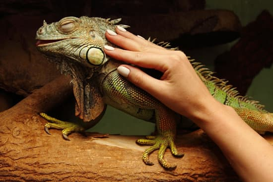 Iguana Dying Signs