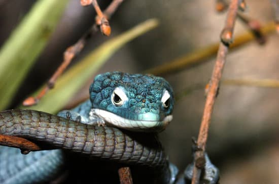 What Are Arboreal Reptiles