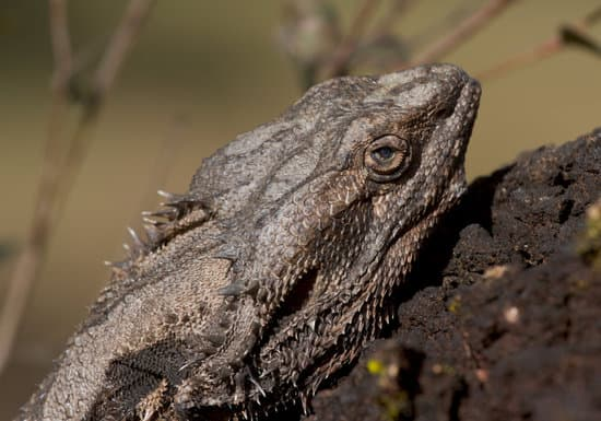 15 Signs Of A Sick Bearded Dragon