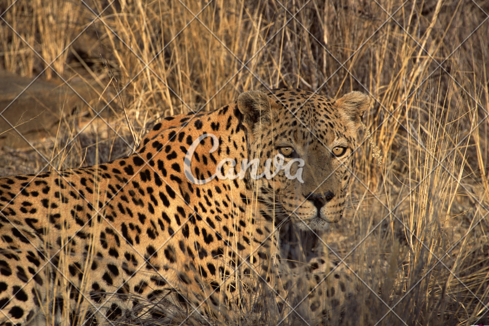 African Leopard Hidden In Grass Namibia Africa Photos By Canva
