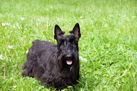 Scottish Terrier small black dog