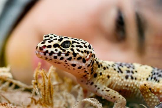 leopard geckos are not poisonous