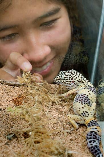 leopard geckos are friendly pets.