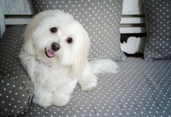 A Small white and fluffy Coton De Tulear resting on a couch