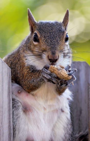 squirrel eating peanut