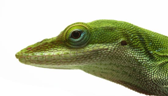 A healthy green anole lizard has bright and full eyes.