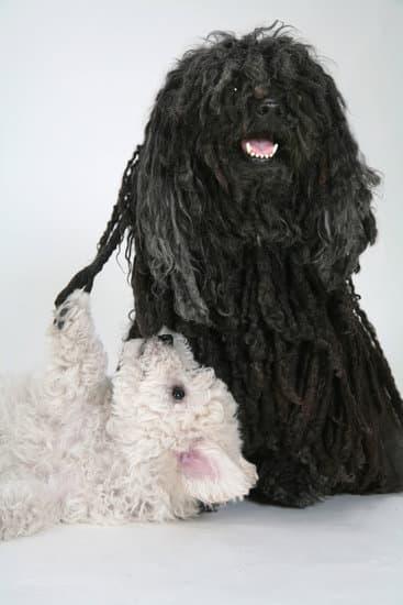 Small Puli black dog