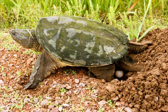 A female snapping turtle laying some eggs into her nest