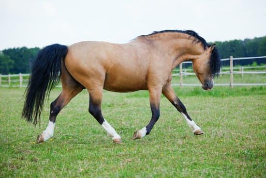Welsh Pony breed
