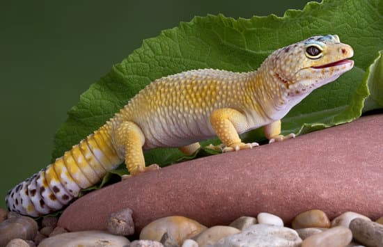 leopard gecko clicking when breathing