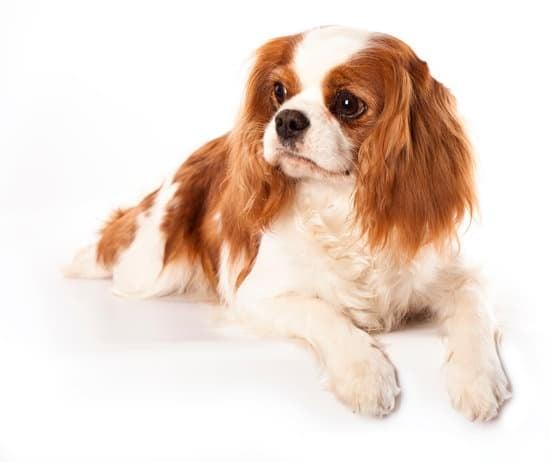 Cavalier King Charles Spaniel breed of calm dog