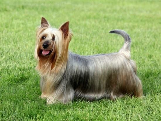 Australian Terrier breed of small guard dog