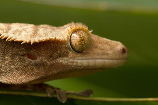 crested gecko play dead