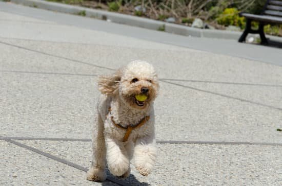 Toy Poodle breed of small hypoallergenic dog
