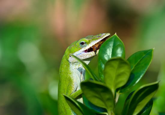 What Do Green Anoles Eat In The Wild?