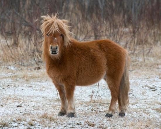Shetland small pony breed
