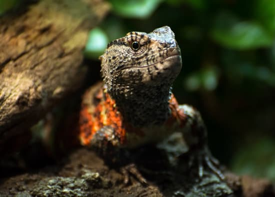 Chinese crocodile lizards that give birth to live babies, reproduction is achieved through mating