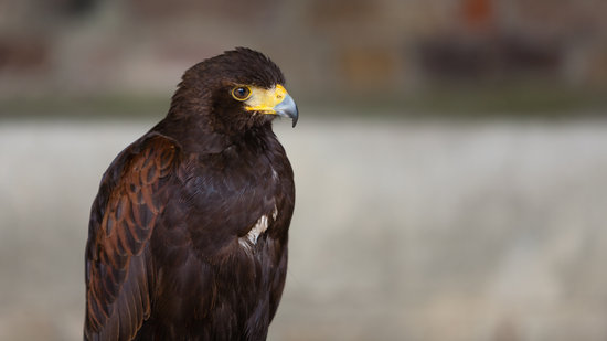 Harris Hawk, Bird Of Prey, Hawk, Beak, Predator, Wild