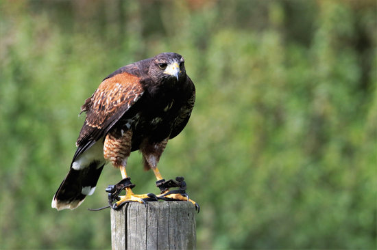 Harris Hawk, Hawk, Harris, Bird, Predator, Animal, Beak
