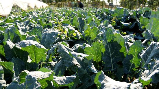 Broccoli, Cauliflower, Vegetable, Crop