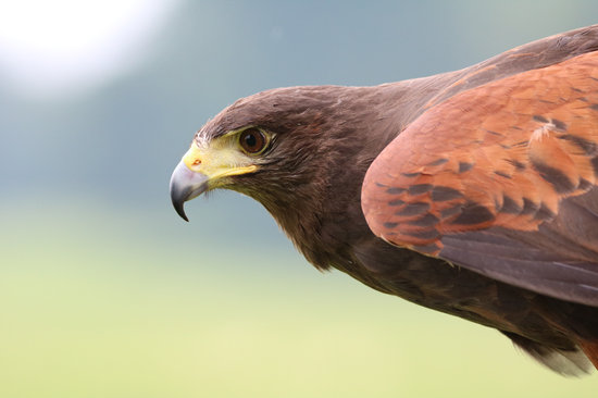 Harris Hawk, Hawk, Harris, Bird, Predator, Hunter