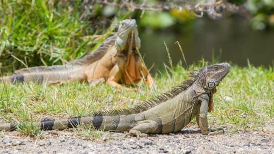 Two healthy Iguanas