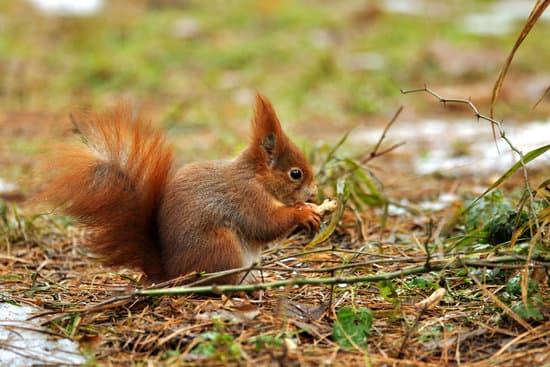Do Squirrels Eat Peanuts?