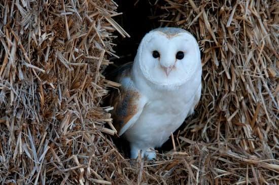 Barn small Owl breeds