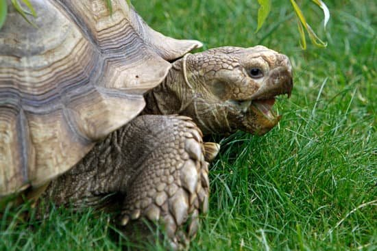 Outdoor tortoise like Sulcata require less heating than Russian tortoise