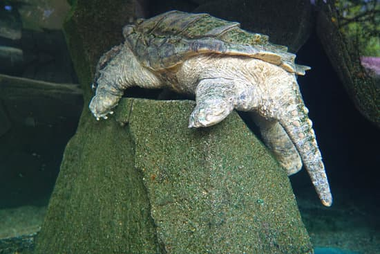 Alligator snappers can climb and do climb too