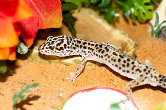 Respiratory Infection In Leopard Geckos can cause weight loss