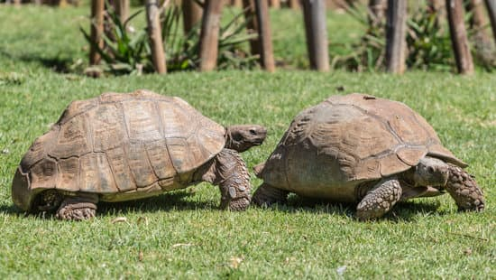 What Affects Sulcata Grow Rate & Size?