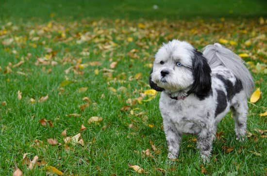 Shih Poo small poodle breed