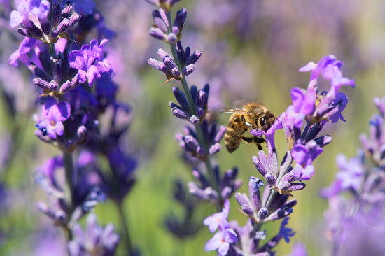 Lavender Flowers with Bee in France