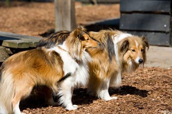 Two pure breed Shetland Sheepdog