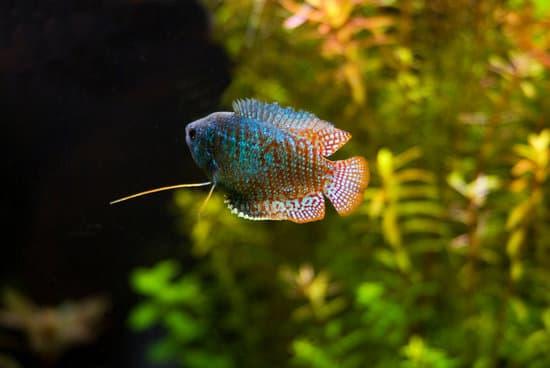 Dwarf Gouramis pet fish