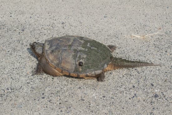 snapping turtles types: The common snapping turtle