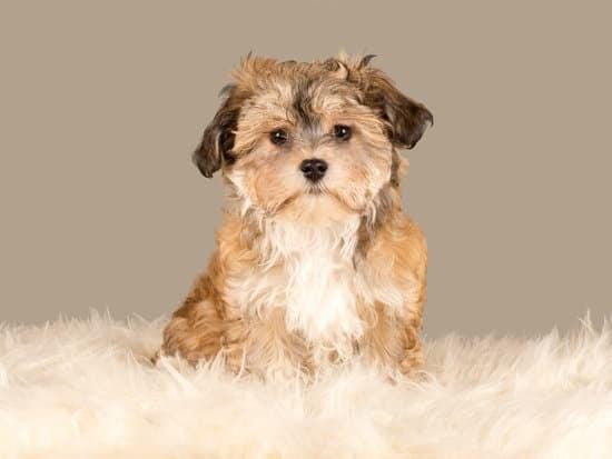 Havanese small lazy dog