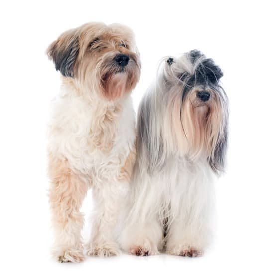 Two Tibetan Terrier black and white small dog breeds