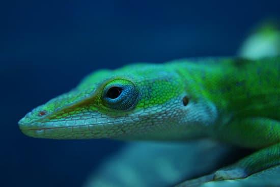Green Anole is worst lizard for beginner