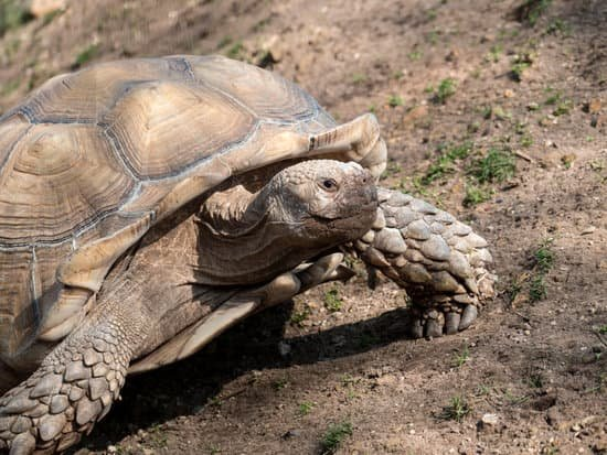 Sulcata Tortoise Shedding