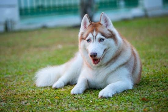 Siberian Husky breed of wolf-like dog