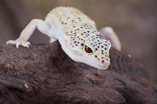 What Is Leopard Gecko Impaction?