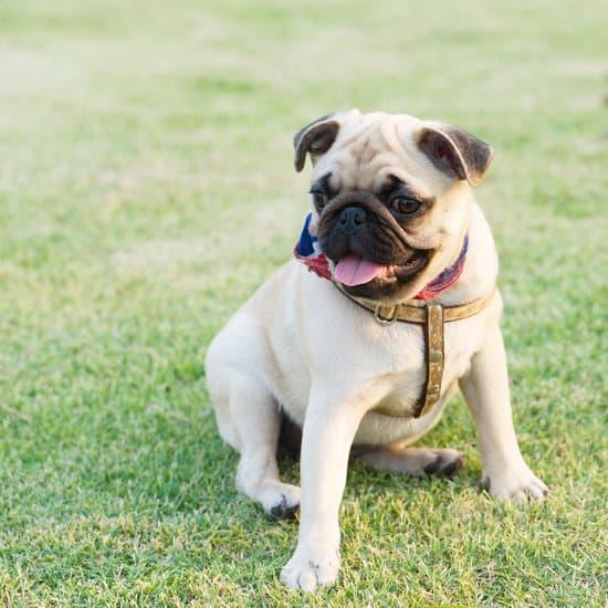 Pug small dog breed for seniors