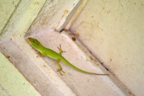 A baby green anole lizard
