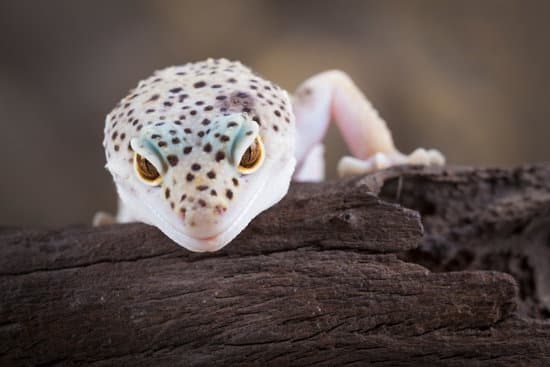 Do Leopard Geckos Like To Climb